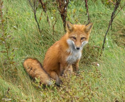 My beautiful wild fox friend Ginger 70 by Nini1965