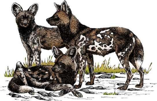 African Wild Dogs by racookster
