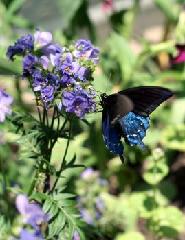 Pipevine Swallowtail by LadySea