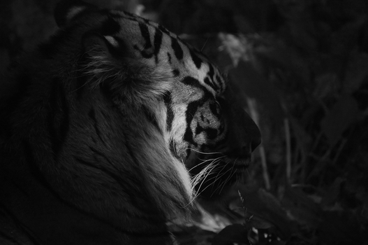 Lonely Tiger - BW by TheOne85Ca