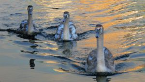 Hungry swans by francis1ari