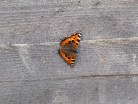 Small Tortoiseshell Butterfly on Fence by Captain-Art-hero
