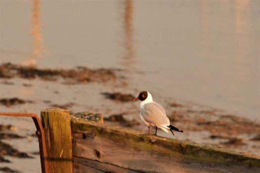 A Black Headed Gull Perched On Some Driftwood by fineartbyandrewdavid