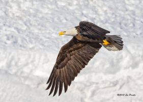 Eagle On Snow by Les-Piccolo