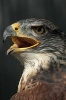 Ferruginous Hawk Profile by Ciameth