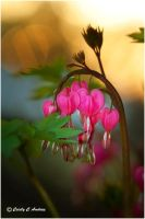 Sunset Bleeding Hearts by CecilyAndreuArtwork