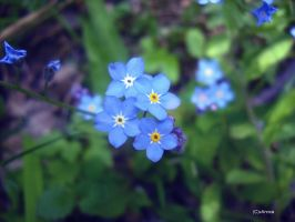Forget me not by xAnnca