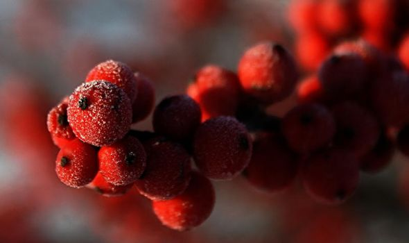 Frosty Berries by jmarie1210