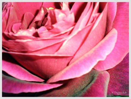 Rose it is.. by Daphnelaio