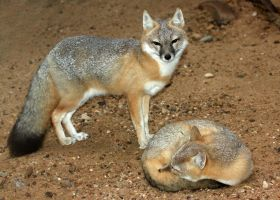 Swift Fox Protector by Jack-13