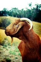 Goat on the hill by tomjg