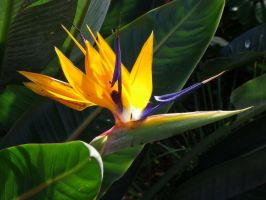 Birds of Paradise by apoclypse90210