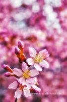 Pink Passion by JustinDeRosa