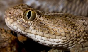 Saw scaled viper headshot by AngiWallace