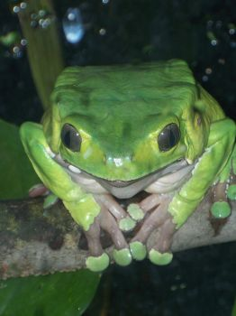 Giant Monkey Frog by ringwraith10