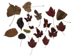Leaves PNG Stock by BeccaB-323-STOCK