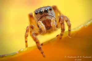Tiny jumping spider by Dark-Raptor