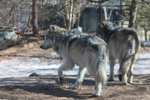 Mexican Wolf Stock 34 by HOTNStock
