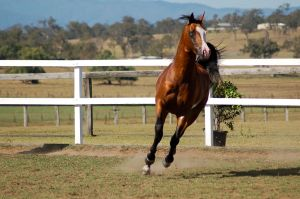 GE arab pinto cantergallop directly front on by Chunga-Stock