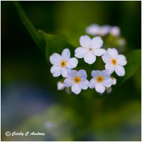White Forget-Me-Nots by CecilyAndreuArtwork