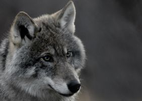wolf in Norway by sickgirl23