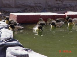 DUCKLINGS by LinaLeonheart