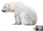 Cut-out stock PNG 94 - polar bear by Momotte2stocks