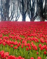 Tulip Field and border by LarryRaisch